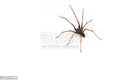 European common house spider (Tegenaria atrica / Philoica atrica) male against white background