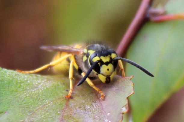 vespa comum europeia (vespula vulgaris) senta-se em uma folha - vespa comum - fotografias e filmes do acervo