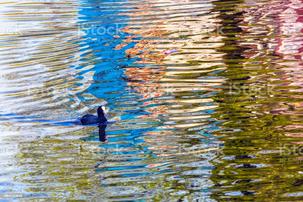 European Coot Duck Reflection Singel Canal Amsterdam Holland Netherlands royalty-free stock photo