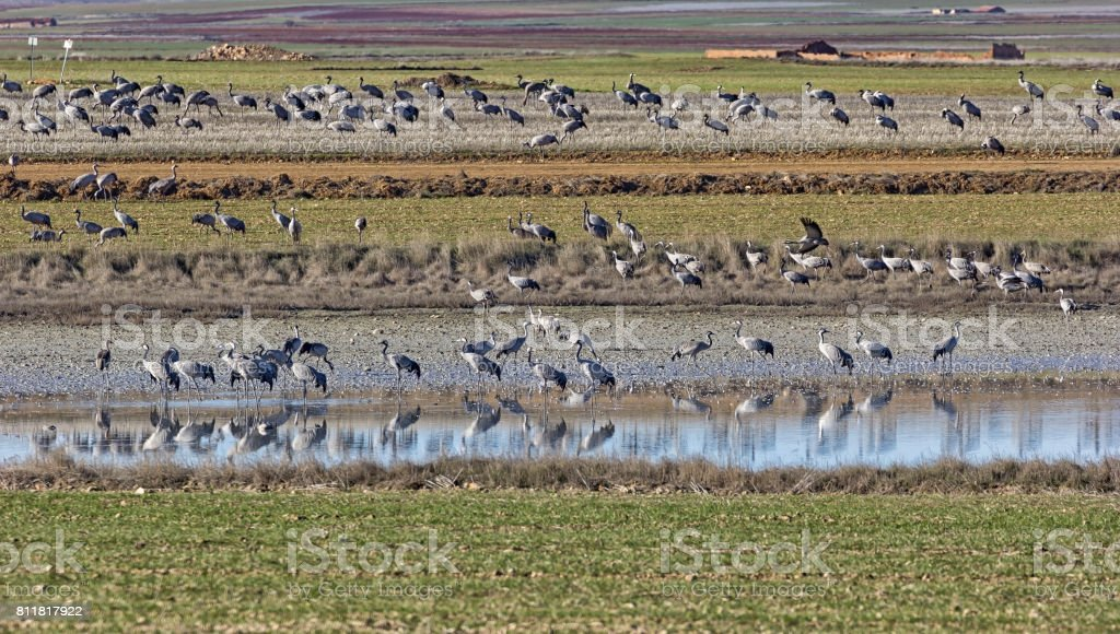 Europäischen Kraniche überwintern jedes Jahr in der Laguna de Gallocanta – Foto