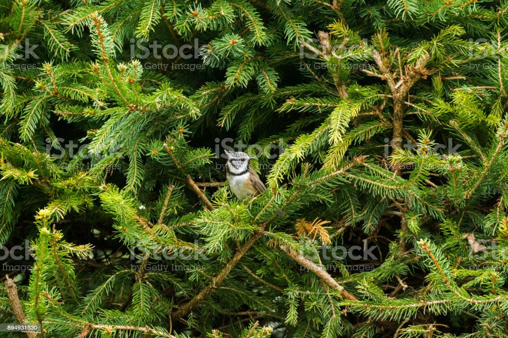 European Crested Tit bird with punk hair perching on pine tree branch, Autumn in Austria, Europe stock photo