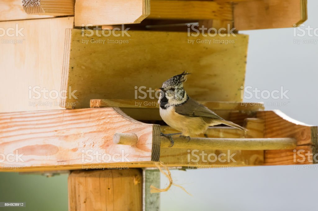 European Crested Tit bird with seeds in its beak perching on wooden bird house feeder, Autumn in Austria, Europe stock photo