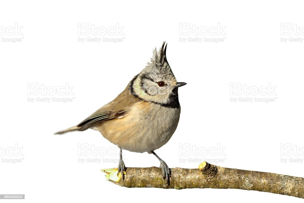 european crested tit perched on twig stock photo