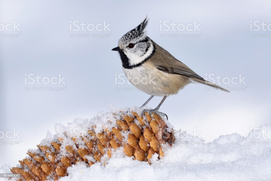European crested tit stock photo