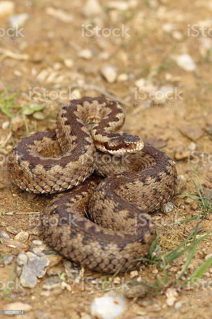 european crossed adder on the ground stock photo