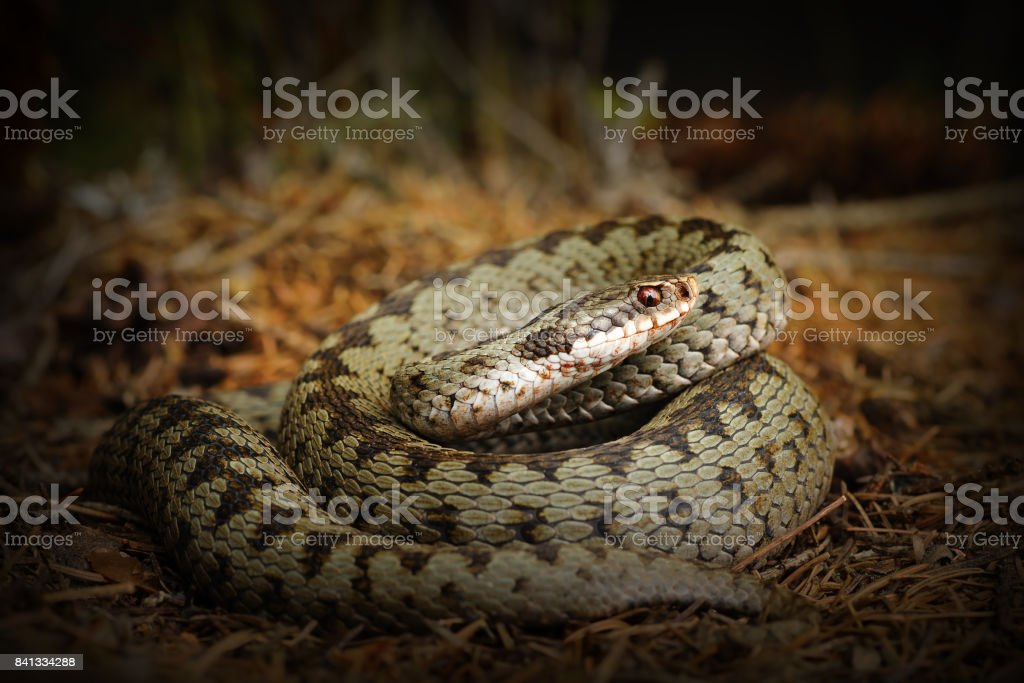 european crossed viper, snake standing on forest ground stock photo