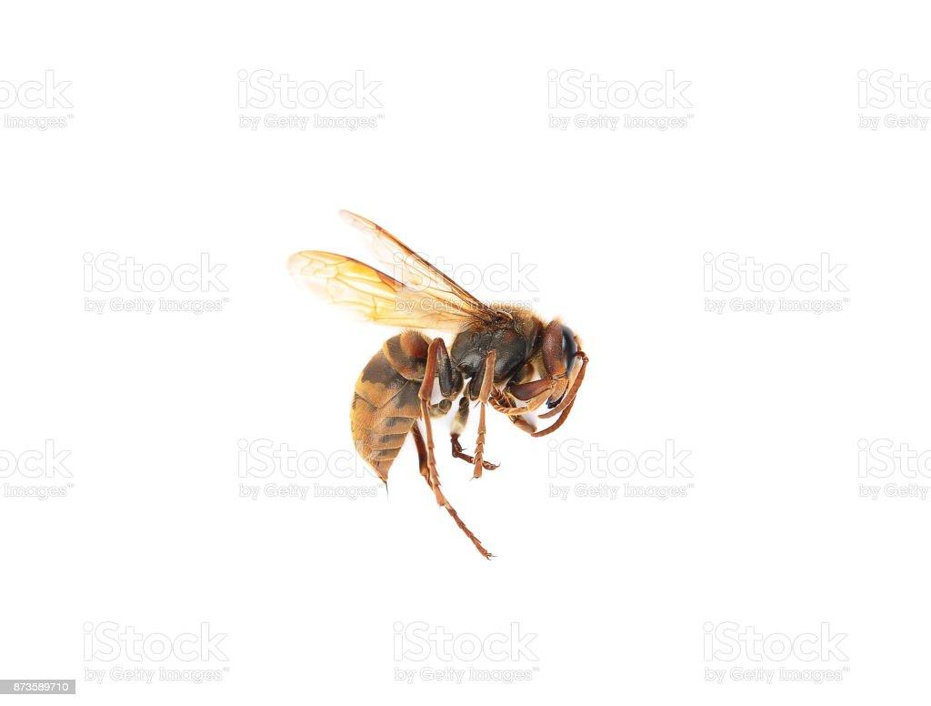 European dead hornet on white background stock photo