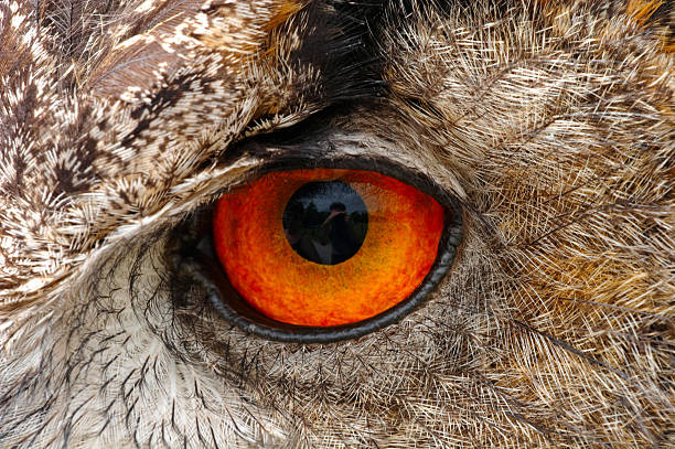 European Eagle Owl Eye Closeup Closeup of a European Eagle Owl eye showing the intense detail of the iris and feathers animal eye stock pictures, royalty-free photos & images