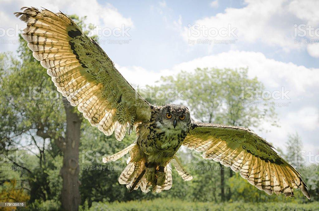 European Eagle Owl flying towards camera, backlit royalty-free stock photo
