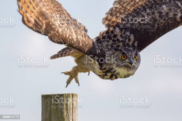 European eagle owl taking off to flight bird of prey hunting picture id939814772?b=1&k=6&m=939814772&s=612x612&h=vujxujjvhibd1asptust8isx1e gkmgts5hz3zmlg e=