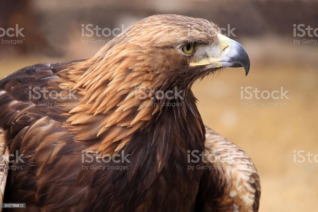 European eagle (Haliaeetus albicilla) stock photo