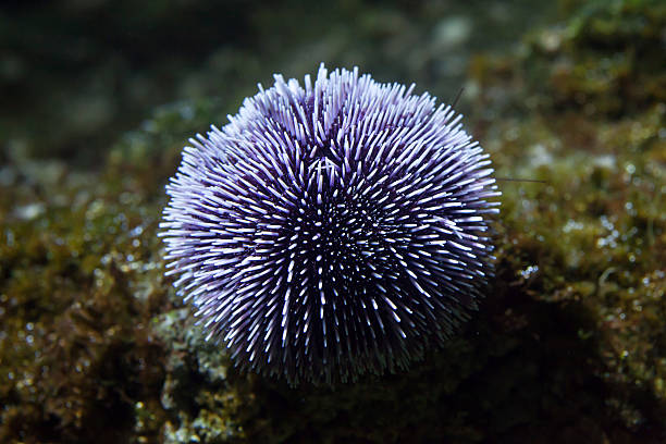 european edible sea urchin (echinus esculentus) - seeigel stock-fotos und bilder
