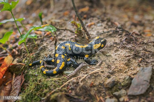 European fire salamander. Salamandra in natural enviroment in carpatian forest