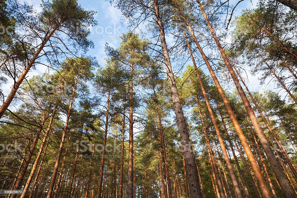 European forest landscape, wild pine trees stock photo