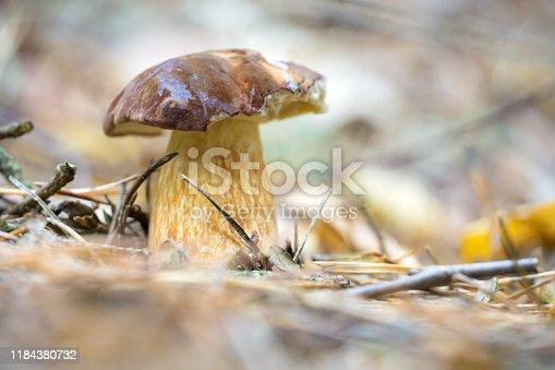 European forest mushrooms