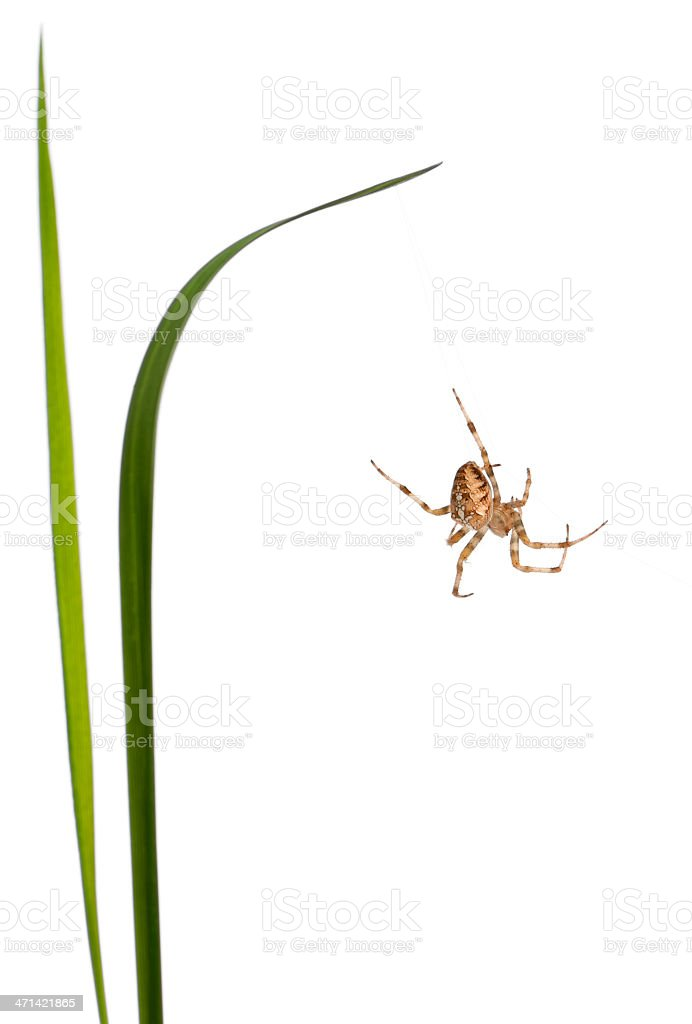 European garden spider, Araneus diadematus, climbing between grass stems stock photo
