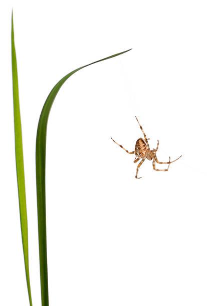 european garden spider, araneus diadematus, climbing between grass stems - one animal stock photos and pictures