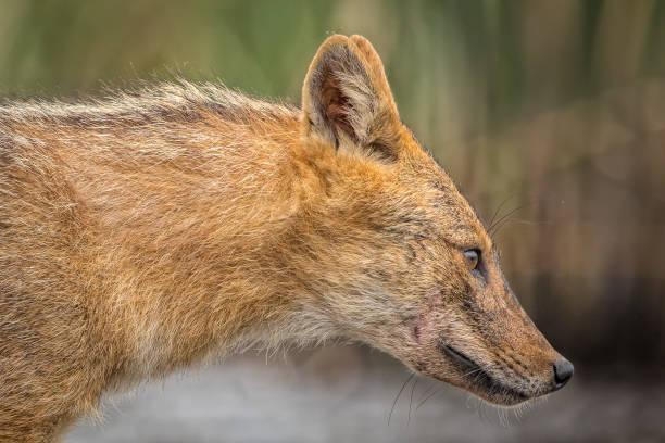 europäische goldschakal (canis aureus) - goldschakal stock-fotos und bilder