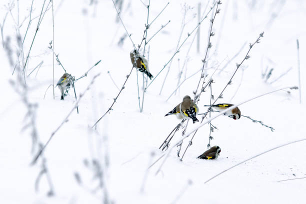 European goldfinch at winter natury stock photo