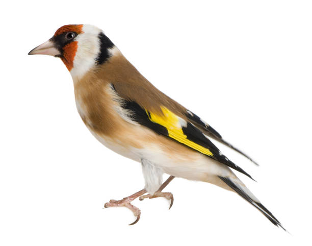European Goldfinch, Carduelis carduelis, perched in front of white background stock photo