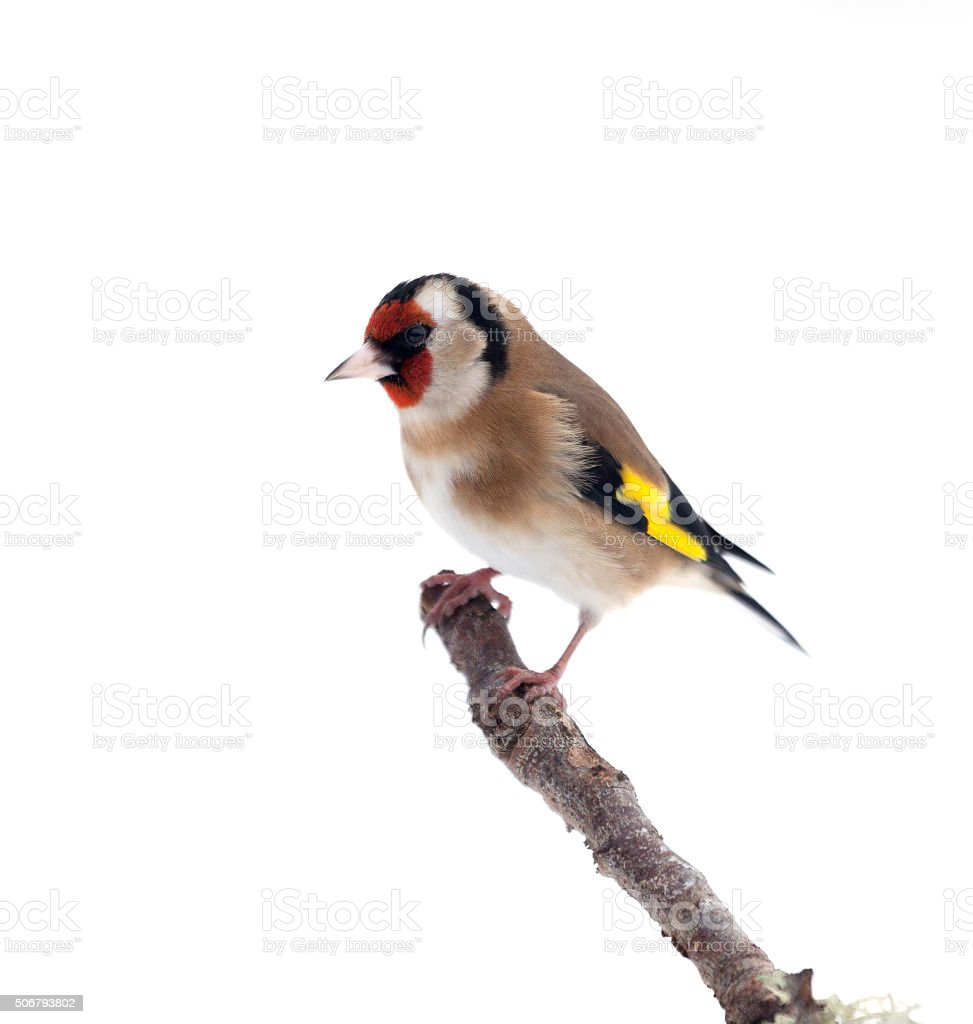 European Goldfinch, Carduelis carduelis,  perched on twig, isolated on white stock photo