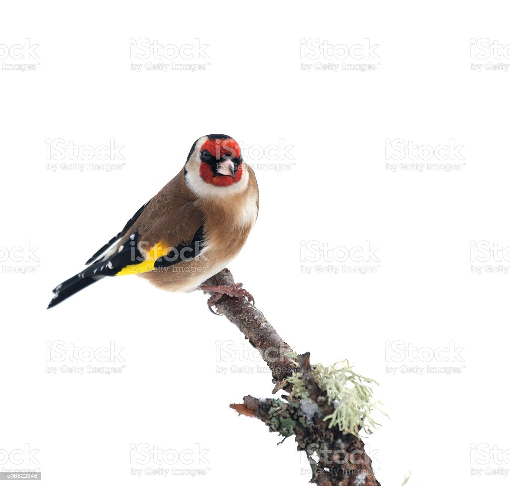 European Goldfinch, Carduelis carduelis,  perched on twig; lichen, snow stock photo