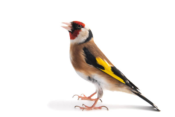European Goldfinch, carduelis carduelis, standing, isolated on white background. European Goldfinch, carduelis carduelis, standing isolated on white background gold finch stock pictures, royalty-free photos & images