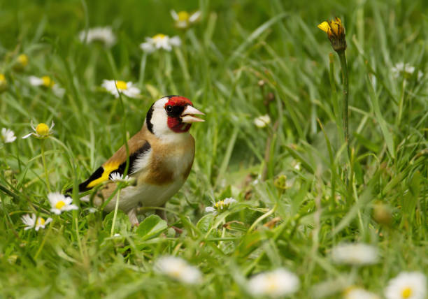 European goldfinch in the meadow stock photo