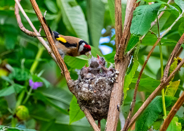 European goldfinch (Carduelis carduelis) nest with chicks - London, United Kingdom European goldfinch (Carduelis carduelis) nest with chicks - London, United Kingdom gold finch stock pictures, royalty-free photos & images