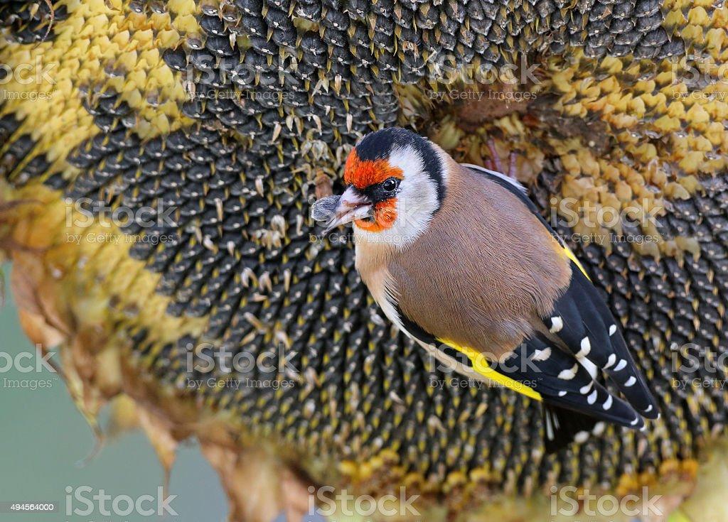 European goldfinch or goldfinch (Carduelis carduelis) stock photo