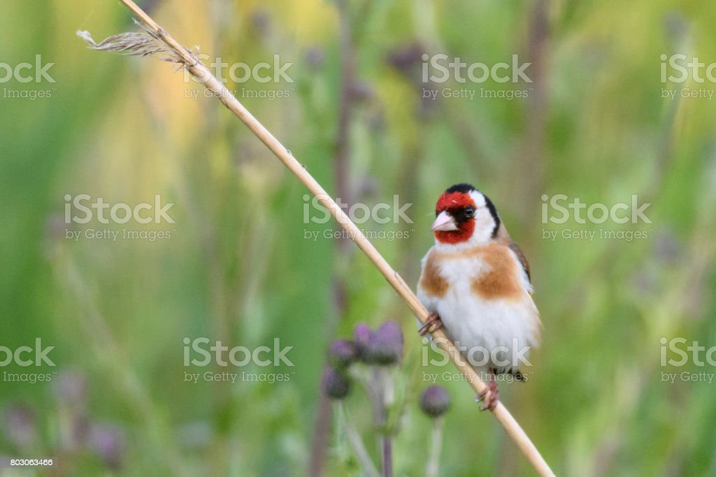 European goldfinch or goldfinch (Carduelis carduelis) sitting on reed stock photo