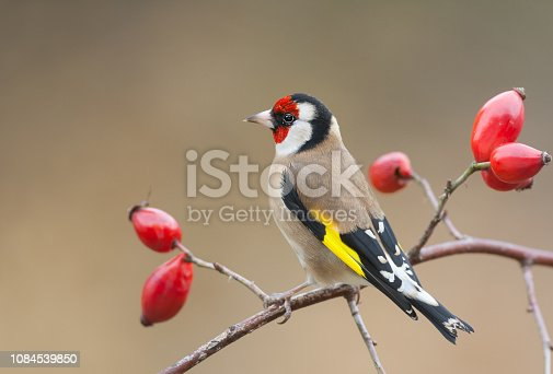 European goldfinch (Carduelis carduelis) perching on a dog rose with ripe fruits.