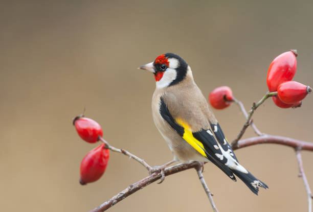 European goldfinch perching on a dog rose European goldfinch (Carduelis carduelis) perching on a dog rose with ripe fruits. finch stock pictures, royalty-free photos & images