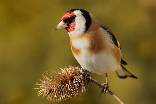 European Goldfinch (Carduelis carduelis) European Goldfinch (Carduelis carduelis) sitting on the branch, isolated from background gold finch stock pictures, royalty-free photos & images