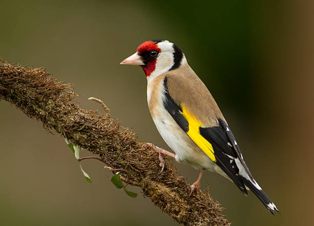 European Goldfinch (Carduelis carduelis) Goldfinch on a perch in the garden, England gold finch stock pictures, royalty-free photos & images