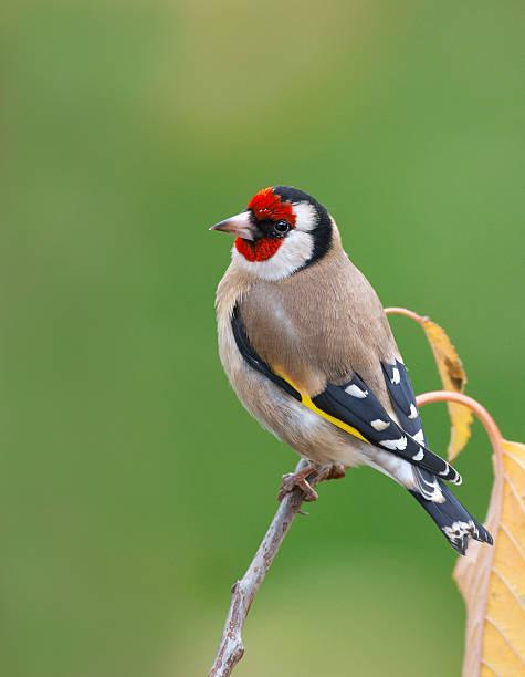 European goldfinch (Carduelis carduelis) stock photo