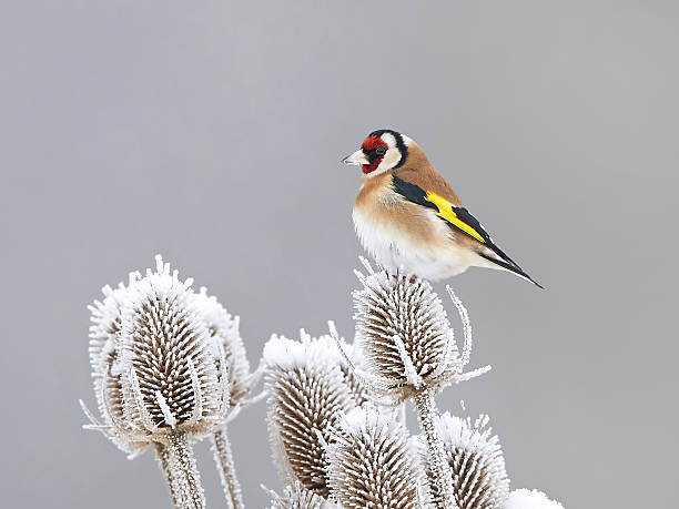 European Goldfinch (Carduelis carduelis) European Goldfinch resting in its habitat at winter time gold finch stock pictures, royalty-free photos & images
