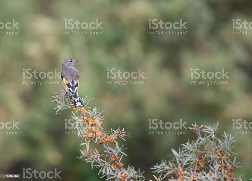 European goldfinch stock photo