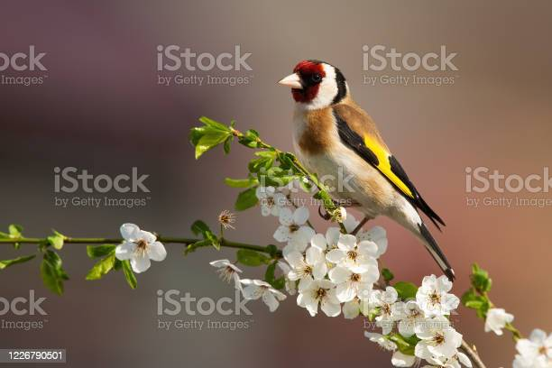 Photo of European goldfinch sitting on twig of tree with blossoming flowers in spring.