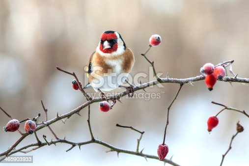 European Goldfinch with frozen red rose hips