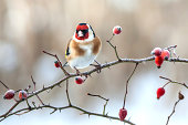 istock European Goldfinch with frozen red rose hips. 465903933