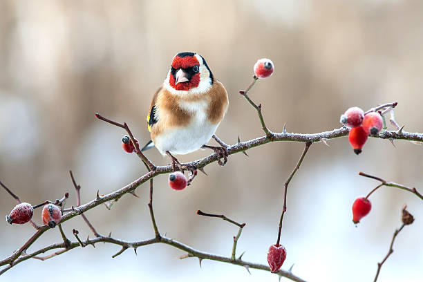 European Goldfinch with frozen red rose hips. European Goldfinch with frozen red rose hips finch stock pictures, royalty-free photos & images