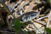 European grass snake flicking its tongue