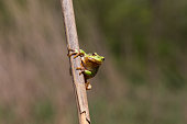European Green Tree Frog looking on Cane, blur background, Isola della Cona, Monfalcone, Italy, amphibian, frog, full frame, copy space