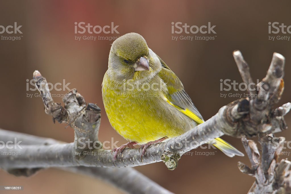 European Greenfinch bird male in autumn background royalty-free stock photo