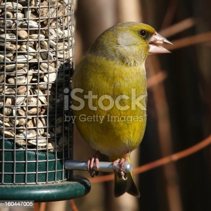 Carduelis chloris -  a small passerine bird in the finch family Fringillidae - widespread throughout Europe, north Africa and south west Asia.