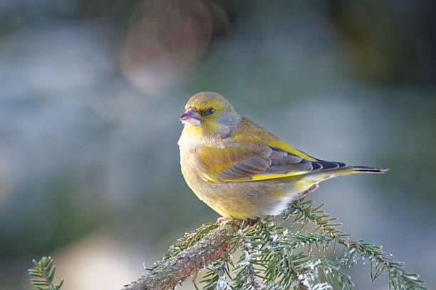 European greenfinch stock photo