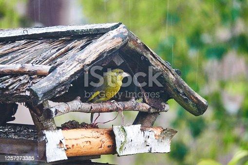 European greenfinch sitting in a birdhouse during rain