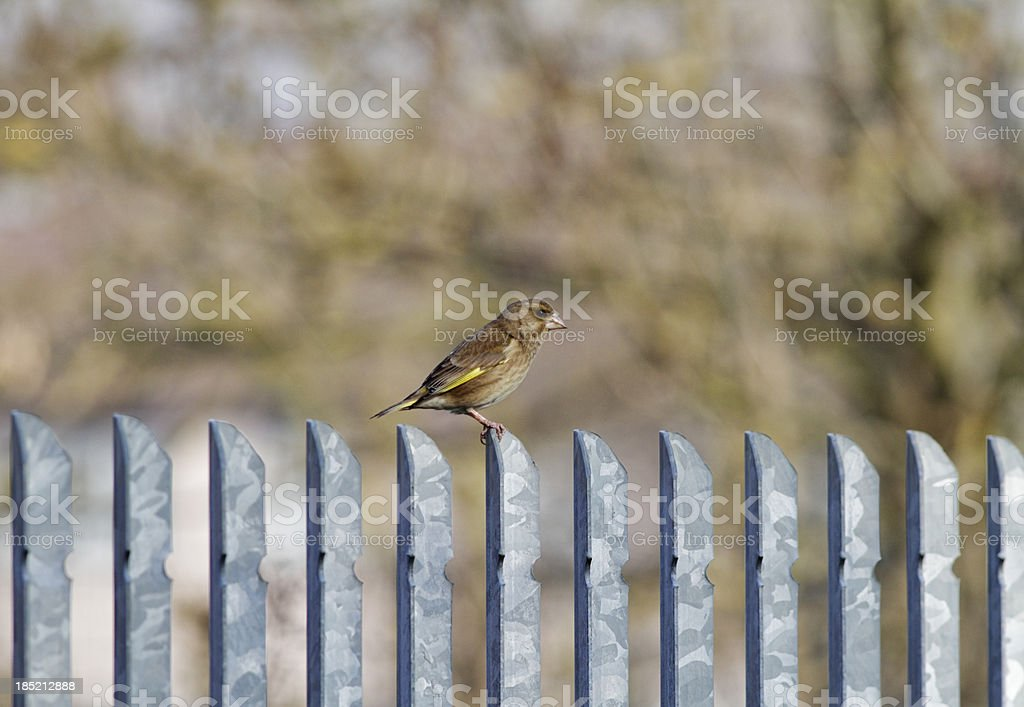 European greenfinch female Carduelis chloris isolated royalty-free stock photo