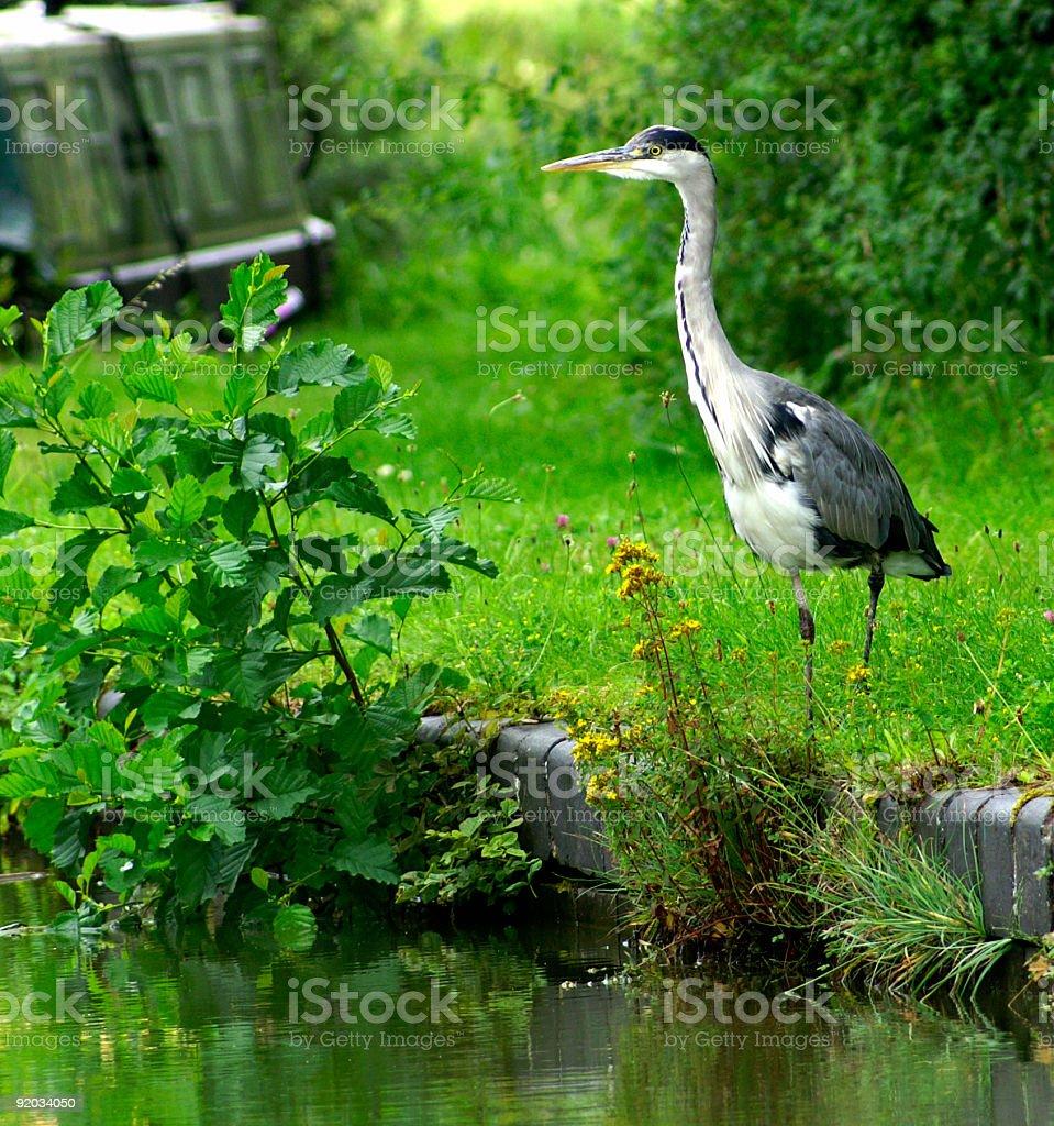 European Grey Heron royalty-free stock photo